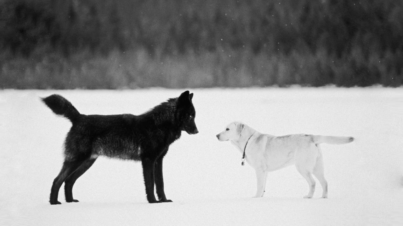 จากหมาป่าสู่สัตว์เชื่อง กว่าจะมาเป็นสุนัขแสนรักของมนุษยชาติ