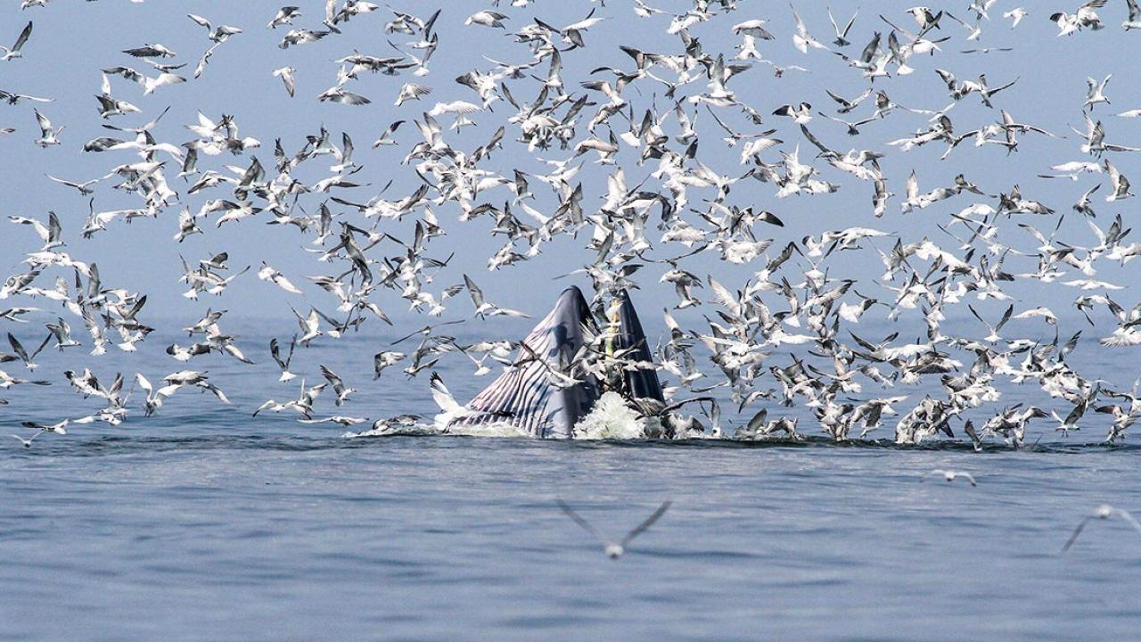 ความสมบูรณ์ของอ่าวตัว 'ก' กับวาฬบรูด้าผู้ยิ่งใหญ่แห่งน่านน้ำไทย