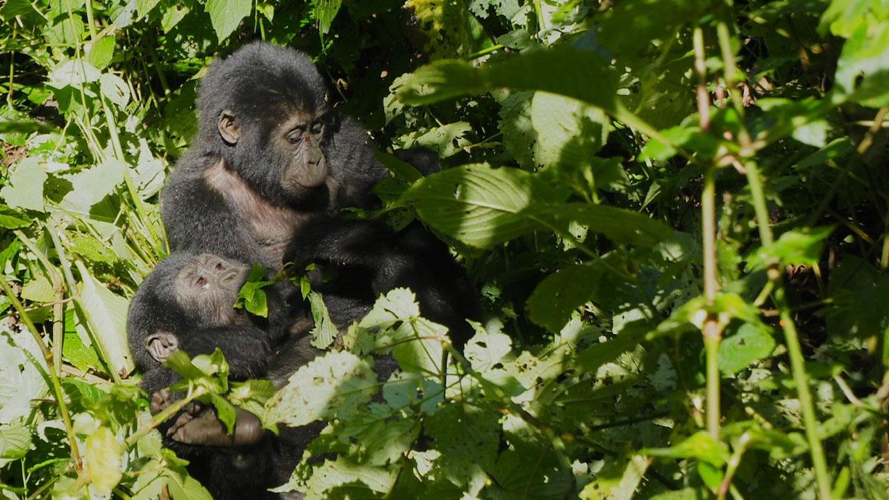 เข้าป่าแอฟริกัน แอบมอง 'กอริลลาภูเขา' และ 'ชิมแปนซี' ที่อูกันดา
