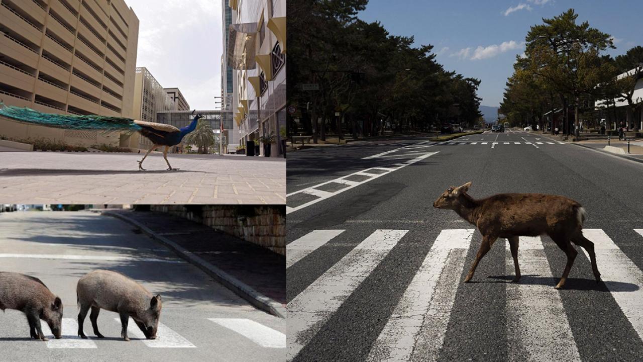 การปรากฏตัวของสัตว์ป่าท่ามกลางการระบาด – ความหวังหรือฝันของคนเมือง